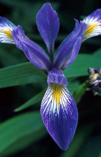 iris_versicolor